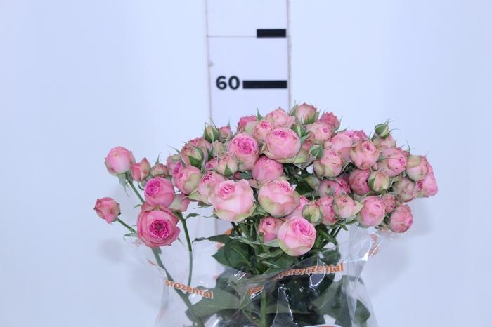 <h4>ROSA SPRAY DITS 060 CM</h4>