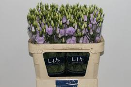 <h4>Lisianthus Rosita Lavender</h4>