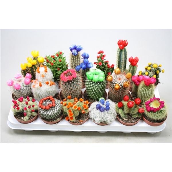 <h4>Cactus mix 8,5 cm. met strobloem</h4>