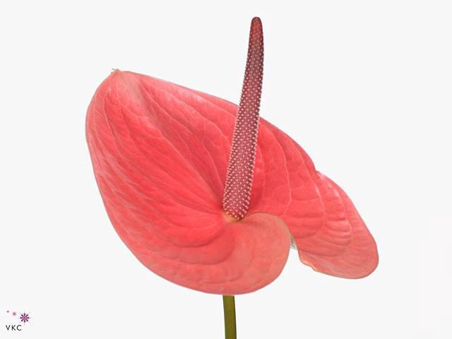 <h4>Anthurium A Pink Christina</h4>