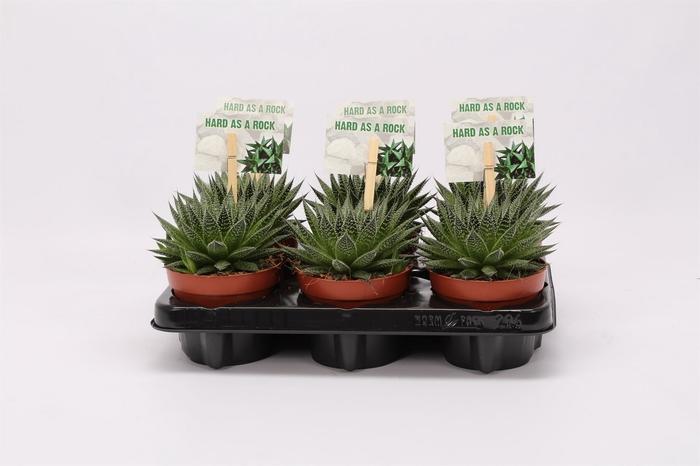 <h4>Aloe aristata 'Magic'</h4>