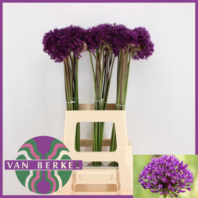 ALLIUM PURPLE SENS