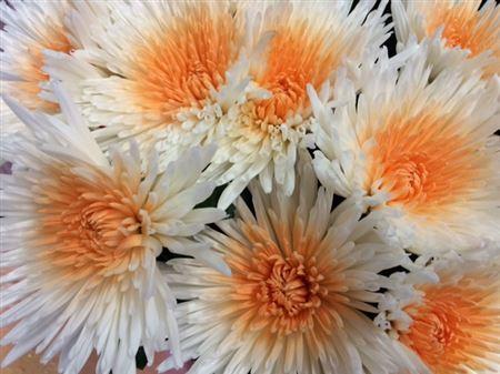 <h4>Chr G Ana White + Apricot</h4>