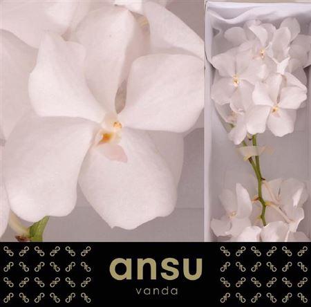 <h4>Vanda Kanchana Ansu No.1</h4>