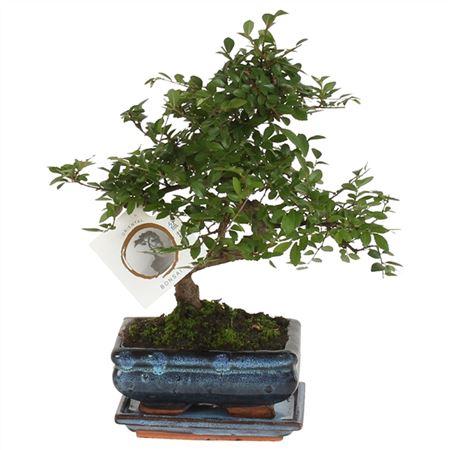 <h4>Bonsai A1152001ze Zelkova Parvifolia Keramiek</h4>