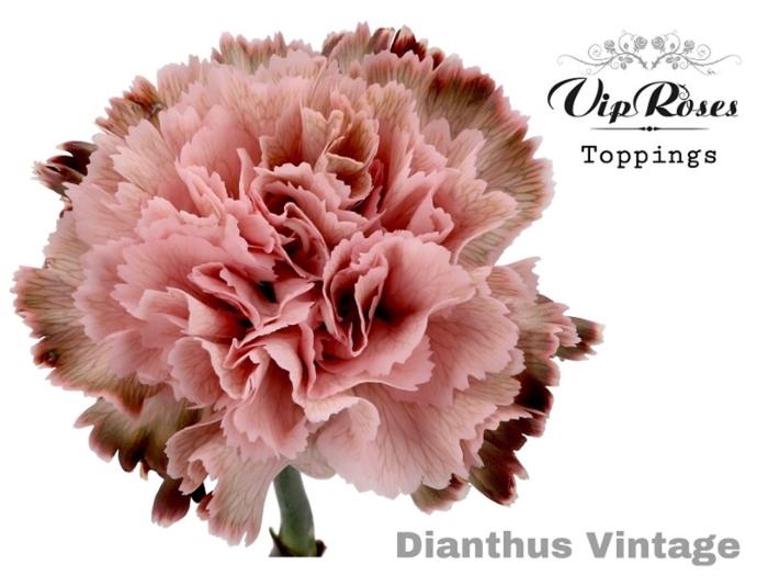 <h4>Dianthus st. geverfd H%</h4>