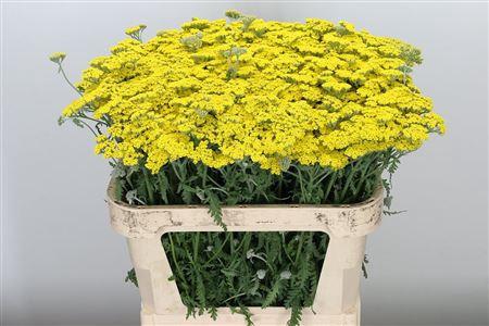 <h4>Achillea Moonshine Yellow</h4>