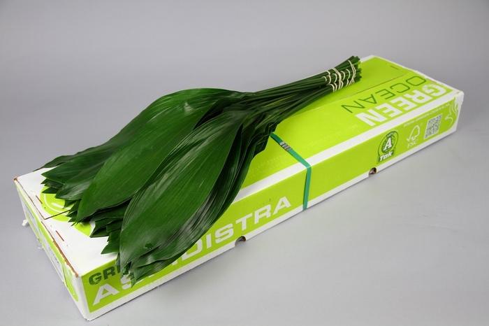 <h4>Aspidistra Green Ocean</h4>