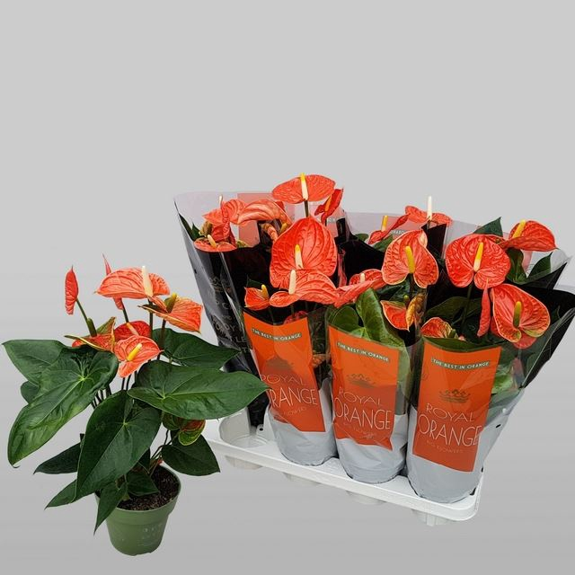 <h4>Anthurium Madural Orange</h4>
