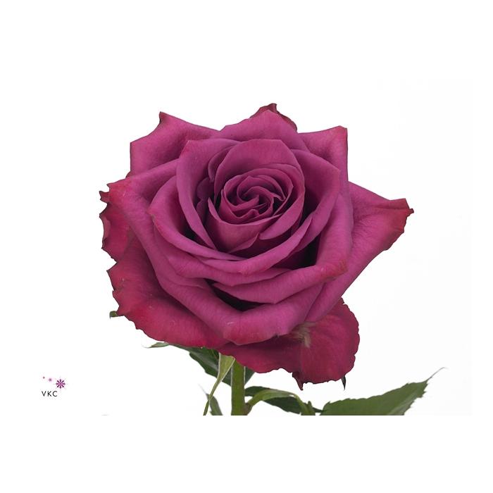 <h4>单头玫瑰 蓝莓</h4>