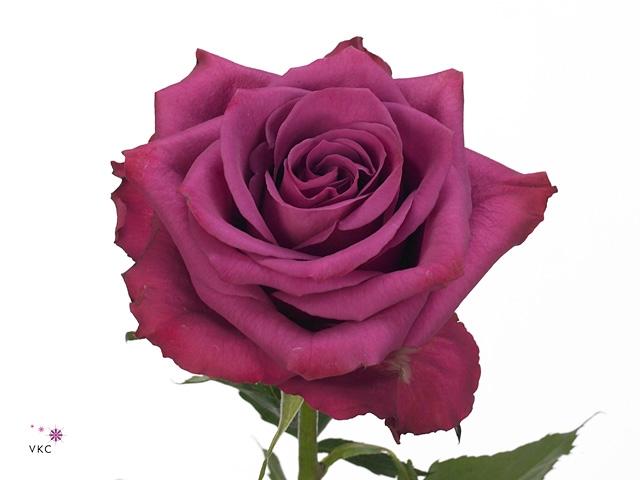 Rosa Gr. Blueberry