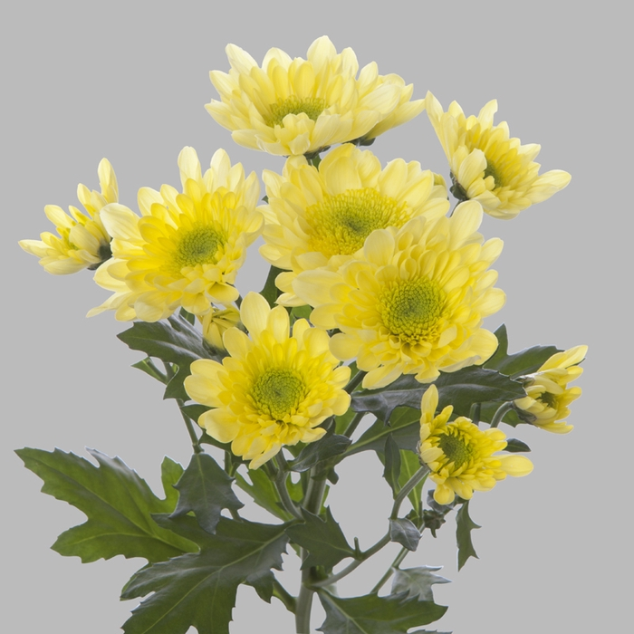 <h4>Chrysanthemum spray radost yellow</h4>