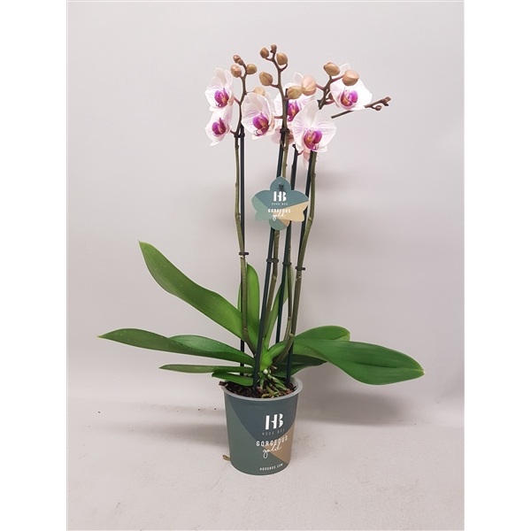 <h4>Phalaenopsis Denver 4 tak Gorgeous Gold</h4>