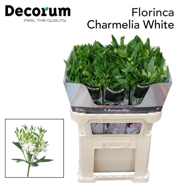 <h4>Alstroemeria Charmelia White</h4>