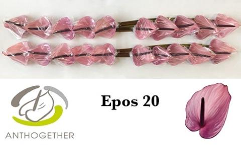 <h4>Anthurium andr. 'Epos'</h4>