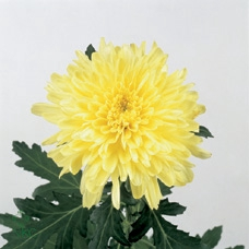 <h4>CHR G ZEMBLA YELLOW</h4>