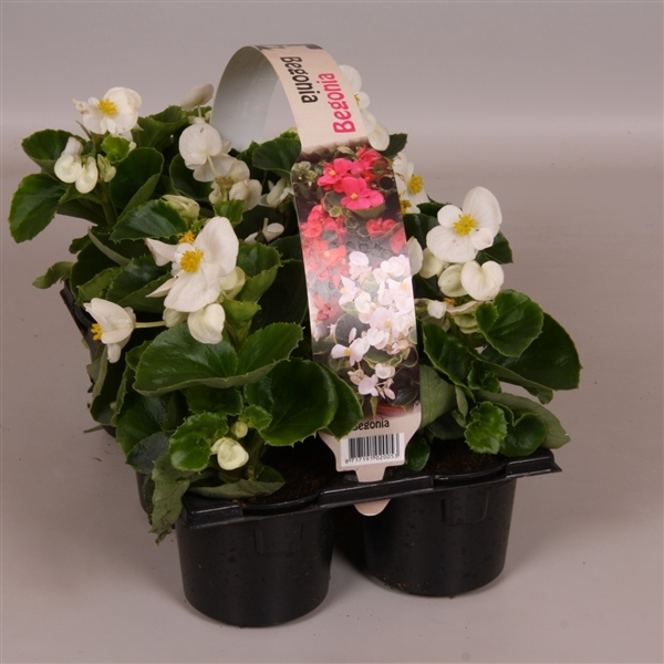 <h4>Begonia Semperflorens Grp groenbladig wit 6p</h4>