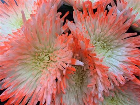 <h4>Chr G Ana Tips Orange</h4>