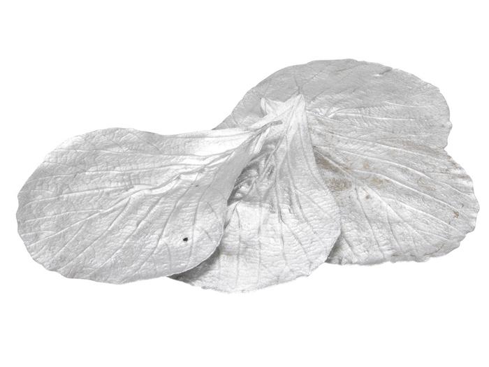 <h4>Droogdeco Cobra leaves  x20</h4>
