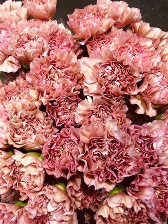 <h4>Di St Lege (pink)</h4>