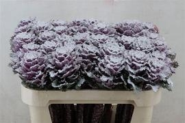 <h4>Brassica blanca nevada</h4>