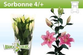 <h4>Lilium oriental Sorbonne 4+</h4>