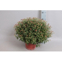 <h4>Bol chrysant Jasoda dark orange</h4>