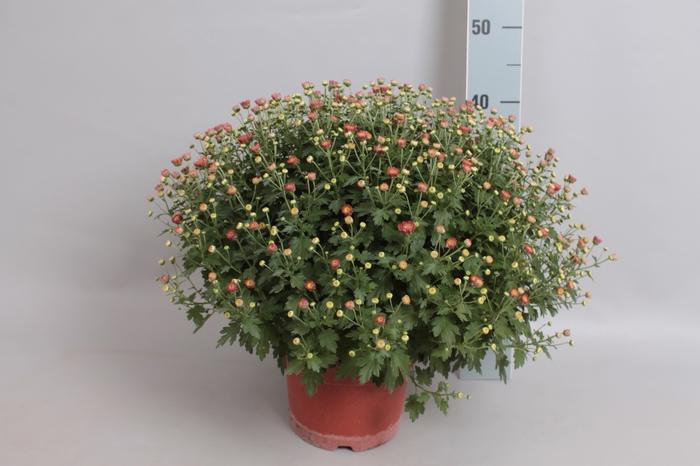 <h4>Bol chrysant Jasoda dark orange</h4>