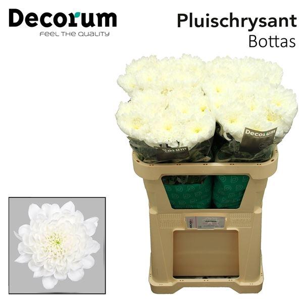 <h4>Chrysanthemum PL 'Bottas'</h4>
