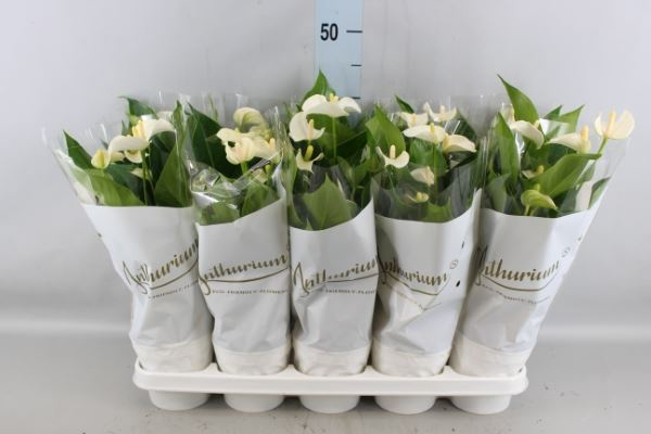 Anthurium andr. 'White Champion'