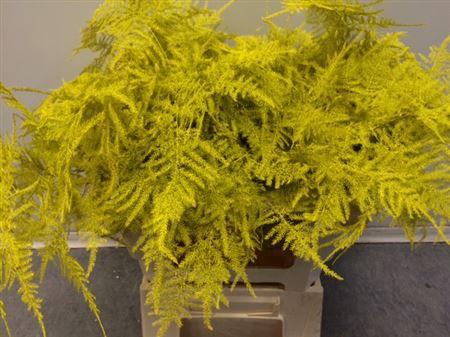 <h4>Asp. Lang Yellow</h4>