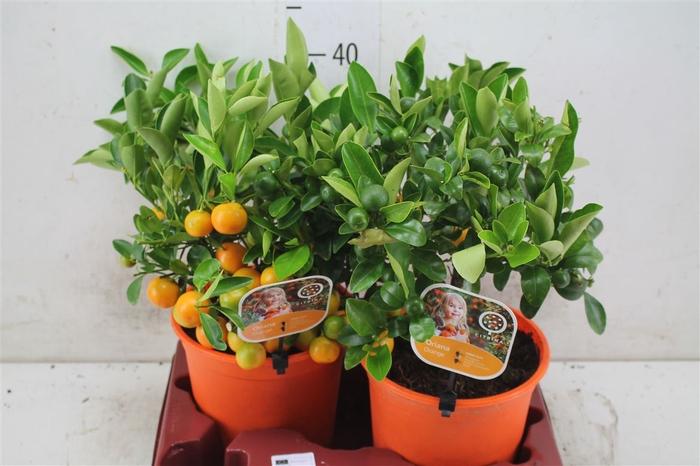 <h4>Citrus Calamondin Bush</h4>