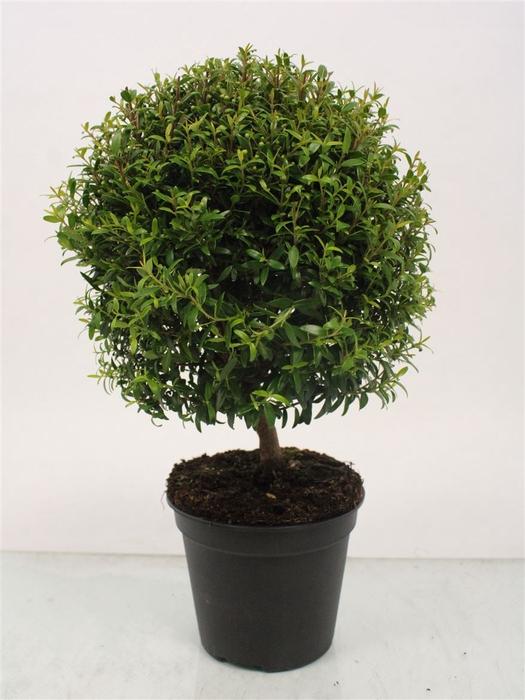 <h4>Myrtus Communis Stem Sam</h4>