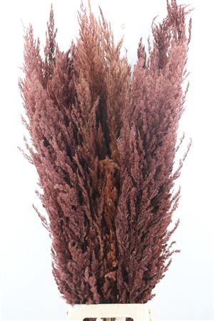 <h4>DRIED PAMPAS GRAS BROWN ( 8 STEM )</h4>