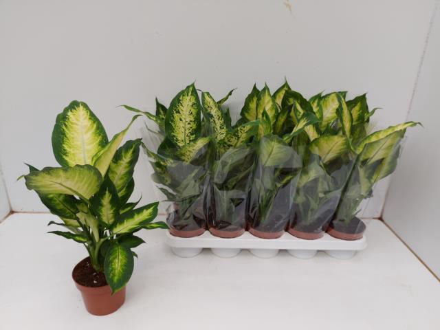 <h4>Dieffenbachia mixed 12Ø 40cm</h4>