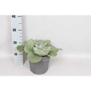 vaste planten 19 cm  Salvia argentea Artemis