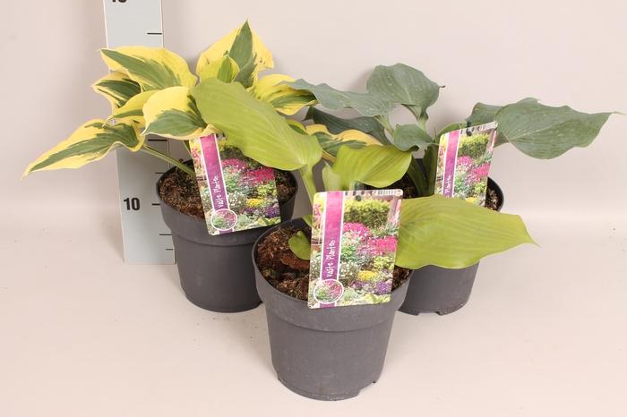 <h4>vaste planten 19 cm  Hosta divers</h4>