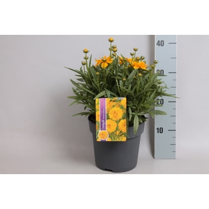 vaste planten 19 cm  Coreopsis Double the sun