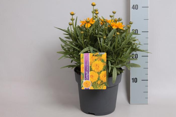 <h4>vaste planten 19 cm  Coreopsis Solana Golden Sphere</h4>