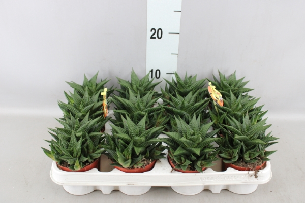 <h4>Haworthia limifolia</h4>