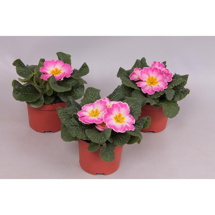 <h4>Primula acaulis bicolor rose/white</h4>
