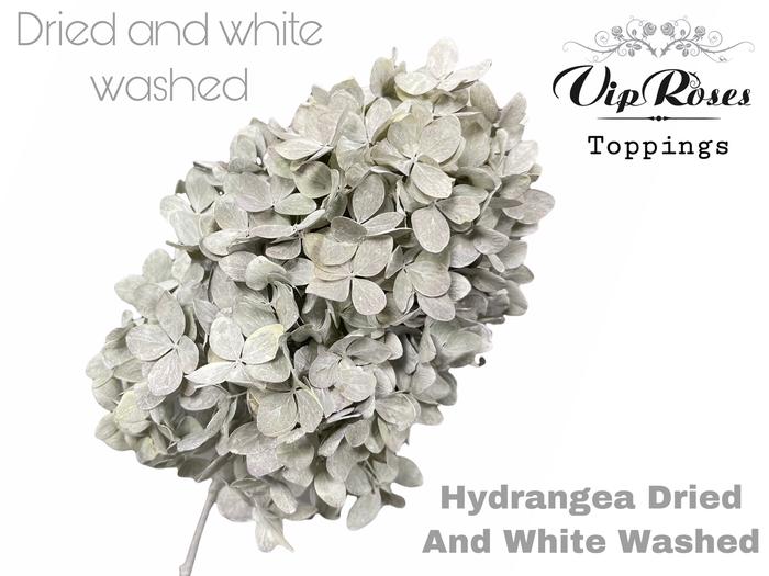 <h4>DRIED HYDRANGEA WHITE WASHED</h4>