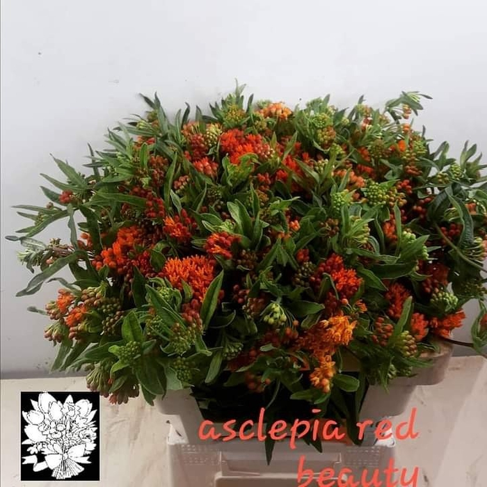 <h4>ASCL T RED BEAUTY</h4>