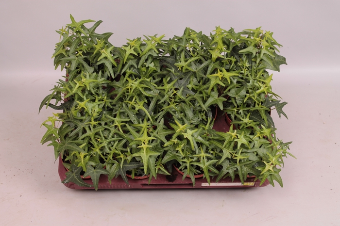 <h4>Hedera helix Tres Coupe</h4>