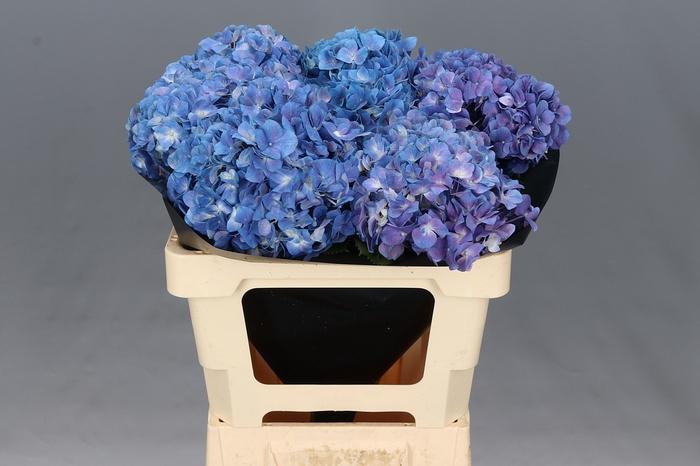 <h4>Hydrangea Light Purple Premium</h4>