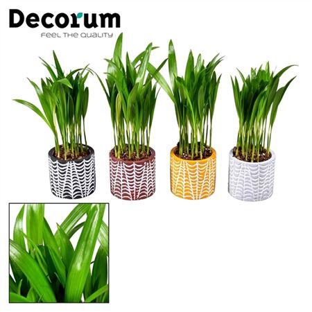 <h4>Dypsis Lutescens (areca) 7 Cm In Pot Croco (decoru</h4>