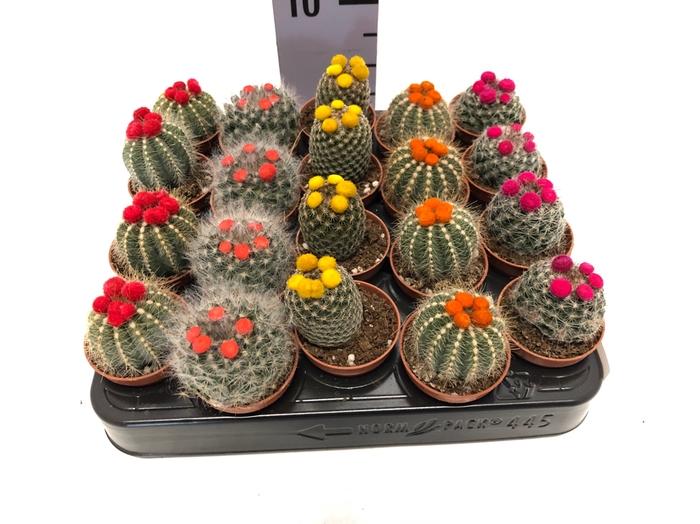 Cactus dryflowers mix 5,5Ø 7cm Disco