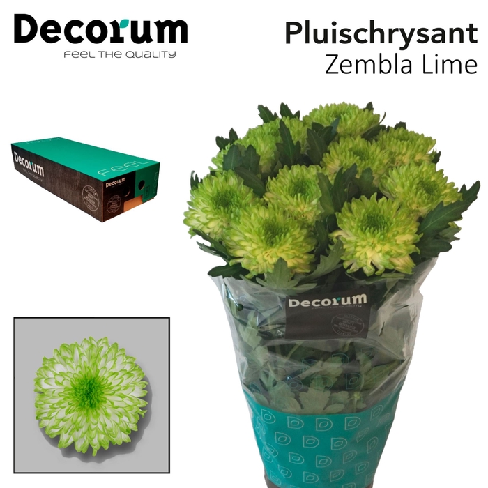 <h4>Chrysanthemum PL 'Zembla Lime'</h4>