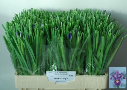 <h4>Iris Blue Magic</h4>