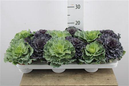 <h4>Brassica Mix</h4>